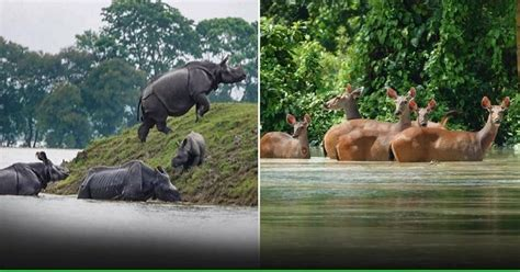 Assam Floods 2020: How Animals Are Struggling To Survive