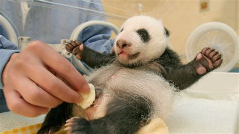 Panda poop paper making tradition revived in China